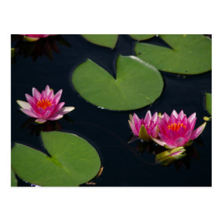 Nénuphar magenta de Lotus Carte Postale