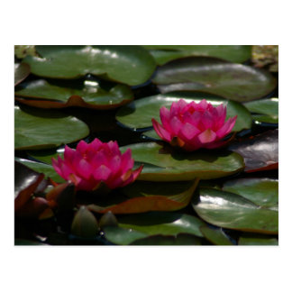 Nénuphars magenta de Lotus Carte Postale