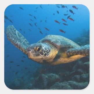 Noircissez la tortue (verte) (agassizi de sticker carré