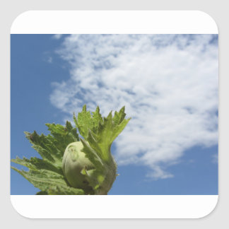 Noisette verte fraîche simple contre le ciel bleu sticker carré