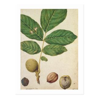 Noix, c.1568 (la semaine sur le papier) cartes postales