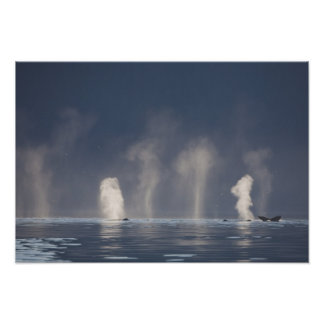 Novaeangliae de Megaptera de baleines de bosse) Posters