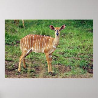 Nyala femelle, réservation de jeu de poster