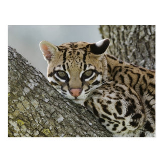 Ocelot, pardalis de Felis, captif, femelle Carte Postale
