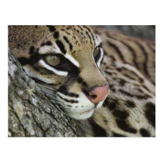 Ocelot, pardalis de Felis, captif, repos femelle Carte Postale
