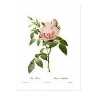 Odorata de Rosa Carte Postale