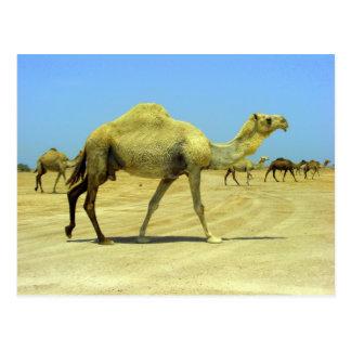 Oh jour heureux - chameaux dans le désert carte postale