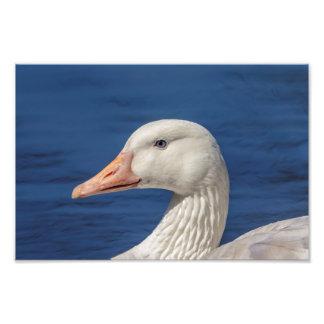 oie 10x8 canadienne blanche impression photo