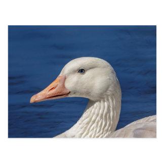 Oie canadienne blanche carte postale