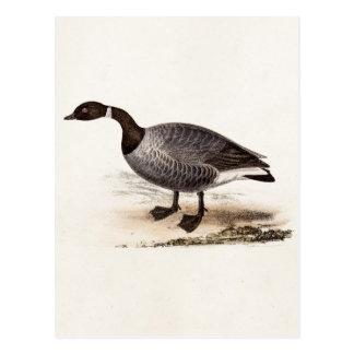 Oie de Brent vintage de 1800s - rétro modèle Carte Postale