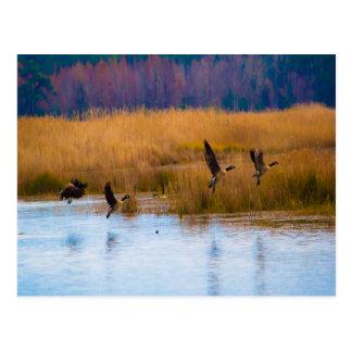 Oies canadiennes volantes carte postale