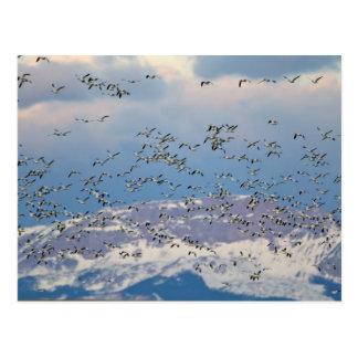 Oies de neige pendant la migration 2 de ressort carte postale