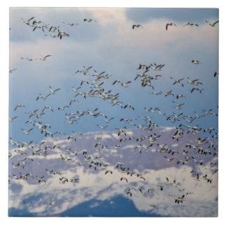 Oies de neige pendant la migration 2 de ressort grand carreau carré
