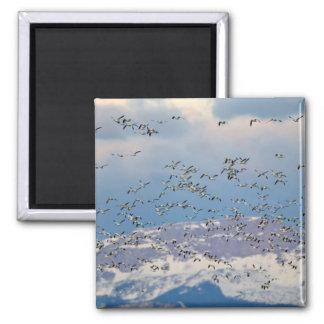 Oies de neige pendant la migration 2 de ressort magnet carré