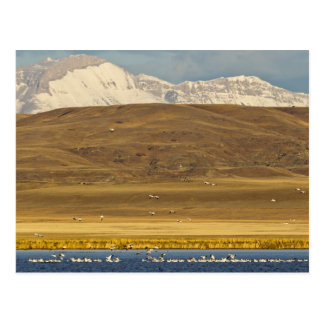 Oies de neige pendant la migration de ressort carte postale