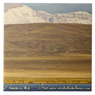 Oies de neige pendant la migration de ressort grand carreau carré