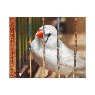 Oiseau blanc de pinson de zèbre dans la cage toiles