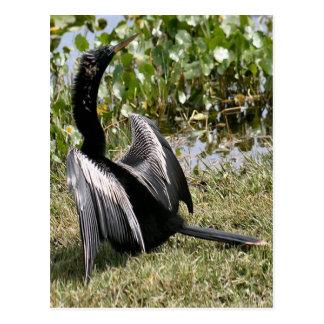 Oiseau d'Anhinga Carte Postale