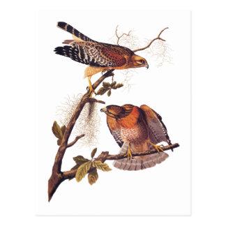 Oiseau d'Audubon de faucon de proie épaulé rouge Carte Postale