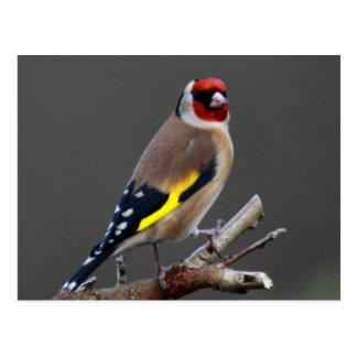 Oiseau de chardonneret carte postale
