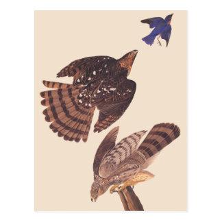 Oiseau de faucon des tonneliers d'Audubon de proie Carte Postale