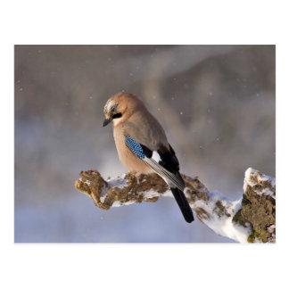 Oiseau de geai se reposant sur une branche carte postale