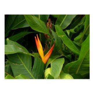 Oiseau-De-Paradis - La Martinique, FWI Carte Postale