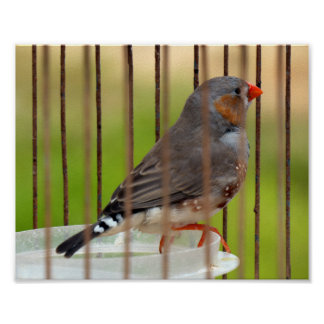 Oiseau de pinson de zèbre dans la cage posters