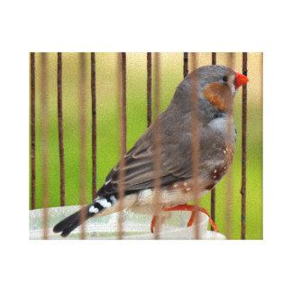 Oiseau de pinson de zèbre dans la cage toiles