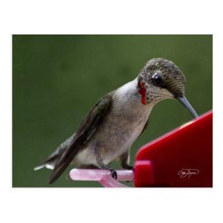 Oiseau de ronflement en Géorgie Carte Postale