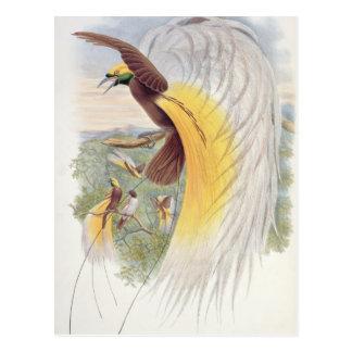 Oiseau du paradis, des 'oiseaux de New Guinea Carte Postale