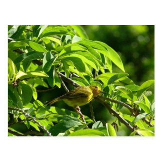 Oiseau Jaune - Martinique, FWI Carte Postale