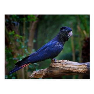 oiseau Rouge-coupé la queue de cacatoès Cartes Postales