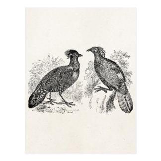 Oiseau vintage d'Impeyan de faisan de Tragopan de Carte Postale