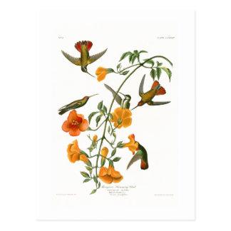Oiseaux d'Audubon d'oiseau de ronflement de Cartes Postales