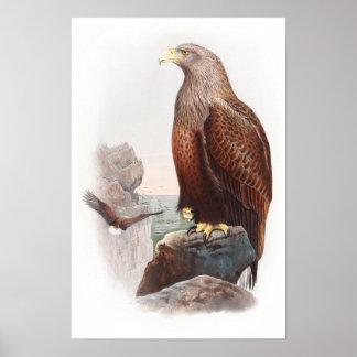 Oiseaux d'Eagle de mer John Gould de nature de la Posters