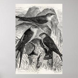 Oiseaux Rouges-Rumped d'oiseau de Martin d'hironde Posters