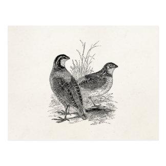 Oiseaux vintages de cailles - rétro gibier à cartes postales