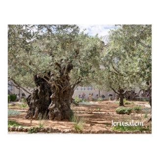 Oliviers dans Gethsemane, Jérusalem, Israël Carte Postale