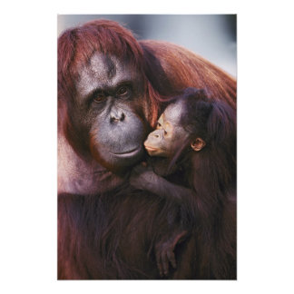 Orang-outan femelle de Sumatran avec le bébé, Pong Photo