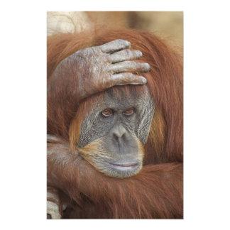 Orang-outan femelle de Sumatran, pygmaeus de Pongo Impression Photo