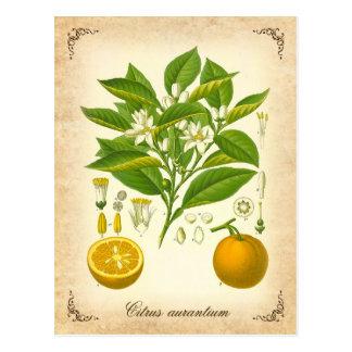 Orange amère - illustration vintage carte postale