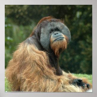 orangutan4-10x10 posters