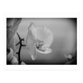Orchidée blanche - carte postale