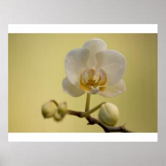 Orchidée blanche sensible affiche