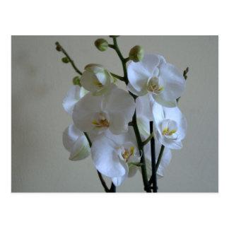 Orchidées blanches carte postale