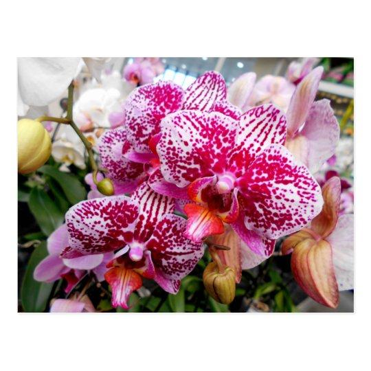 Orchidées roses de Dendrobium Carte Postale