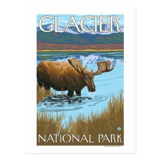 Orignaux buvant au lac - parc national de glacier, carte postale