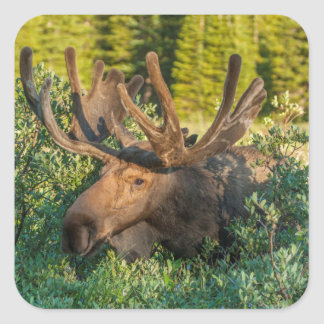 Orignaux de Taureau en velours, le Colorado Sticker Carré