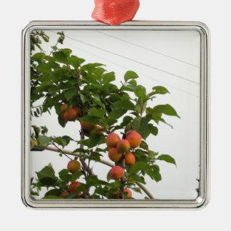 Ornement Carré Argenté Abricots mûrs accrochant sur l'arbre. La Toscane,